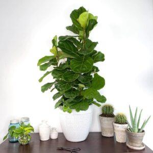 گل انجیر آفریقایی