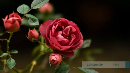 گل رز زیبا