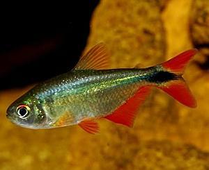 ماهی تترای بوینس آیرس