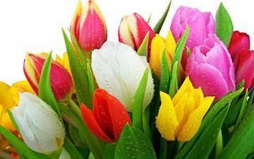 نگهداری از گل های لاله