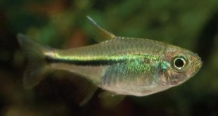 ماهی تترا نئون سبز