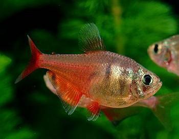 ماهی تترای قرمز (تترای شعله ای)