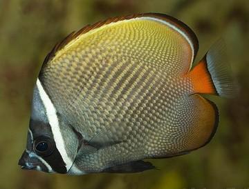 پروانه ماهی پاکستانی