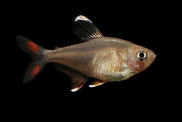 ماهی تترای رزی Hyphessobrycon rosaceus