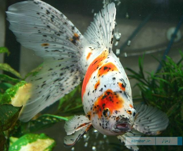 Shubunkin Goldfish (Calico) شابونكین يا كاليكو