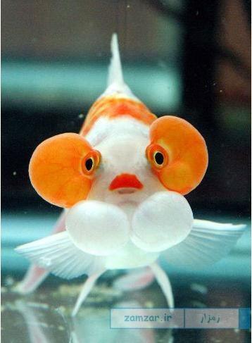 Bubble Eye Goldfish چشم حبابی