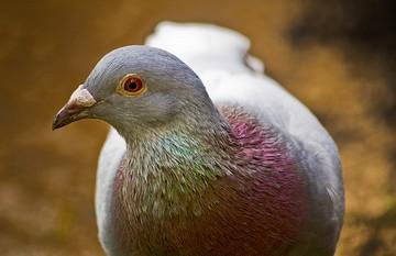 پرنده ای به نام کبوتر