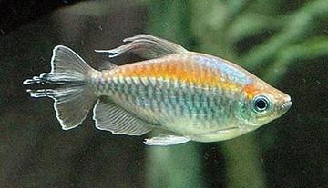 ماهی تترای کنگو