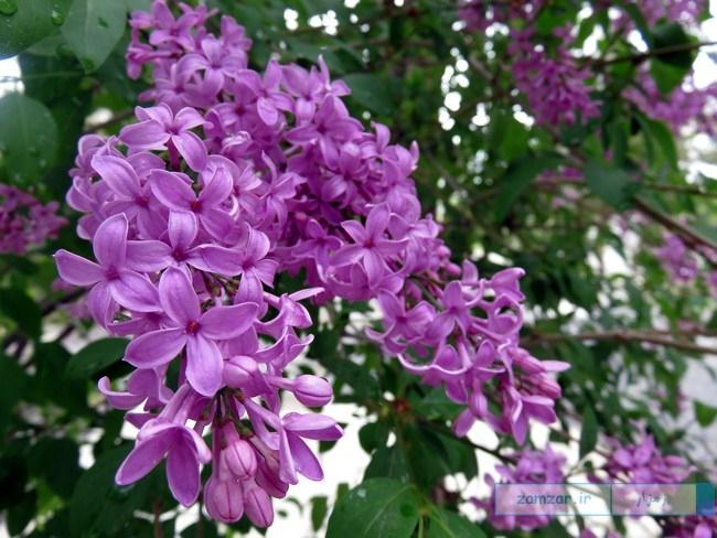 از گوشه و کنار کرکوند - گل یاس (آرامستان جنت المومنین)
