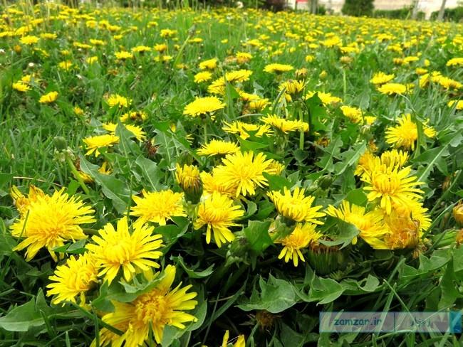 از گوشه و کنار کرکوند - گل های قاصدک (یکی از پارک)
