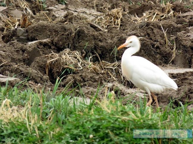 از گوشه و کنار کرکوند - پرنده مهاجر ( مزارع )