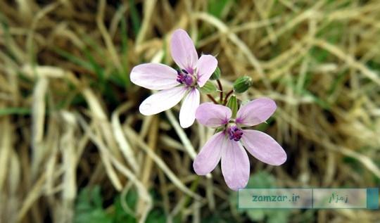 از گوشه و کنار کرکوند - گل های وحشی (مزارع)
