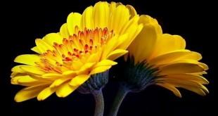 حاکم گلها
